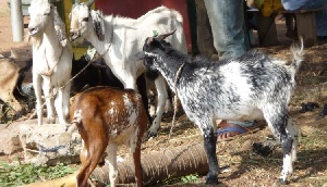 Two nabbed for stealing 3 goats