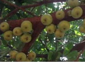 VIDEO: Shocking as Ghanaian soil grows first ever apple tree
